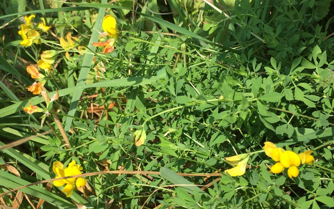 Down on the Allotments: tomato blight, snail-resistant produce, sea buckthorn, new crop experiments, Bird's-Foot Trefoil, and a new outdoor gatherings space.